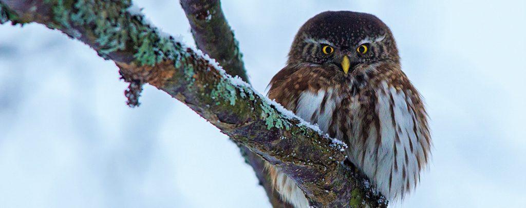 Varpuspöllö on Suomen pienin pöllö. Kuva Erkki Rauhala.